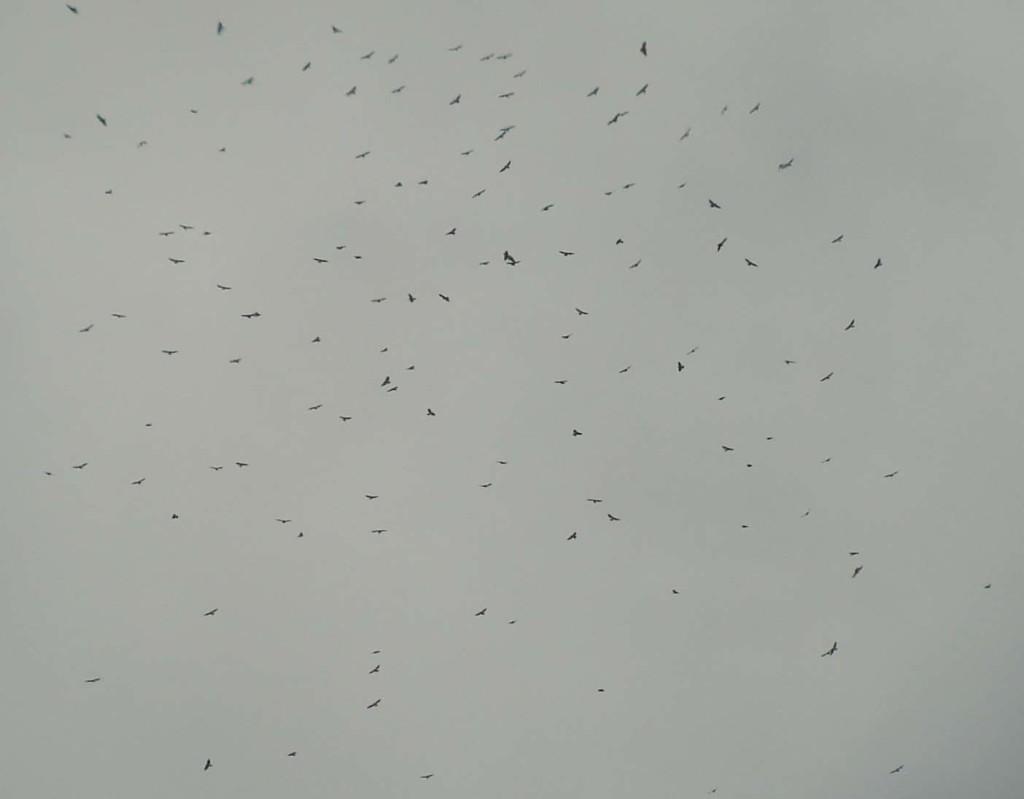 Broad-winged Hawk Kettle (136 birds)