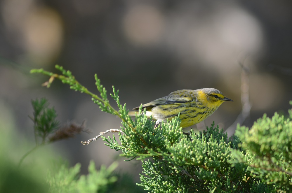 One of two Cape May Warblers
