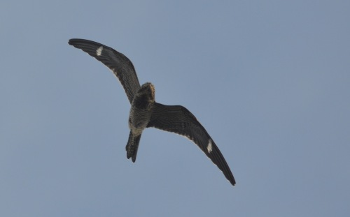 Common Nighthawk, Star Island fall 2011