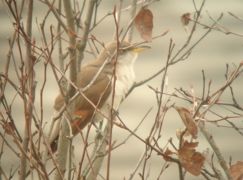 Yellow-billed Cuckoo, Star Island fall 2011.
