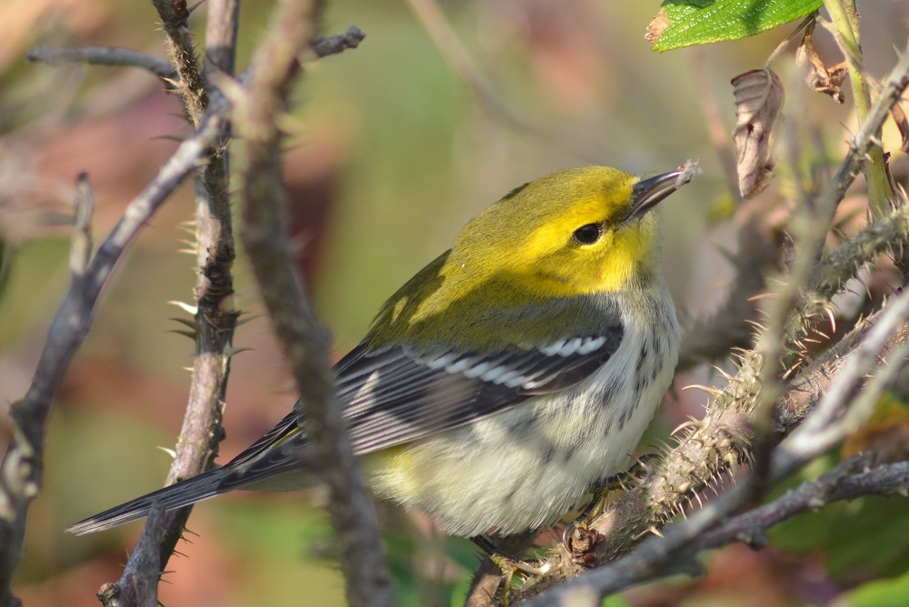 Black-throated Green Warbler, Oct. 16, 2011 Star Island