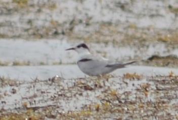 """""""portandica"""" common tern"""