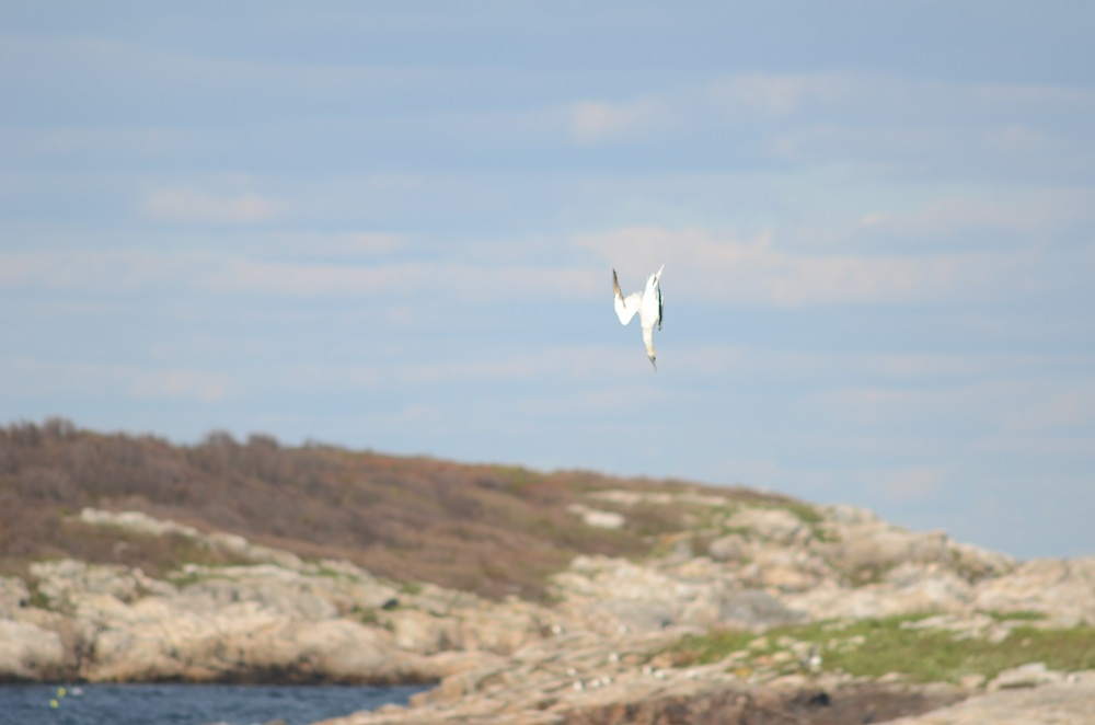 Hundreds of gannets offshore, Star Island, October 16, 2011