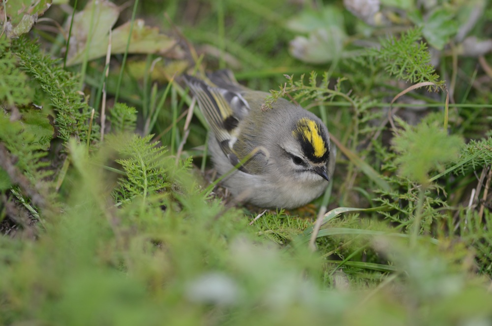 Female golden-crowned kinglet.