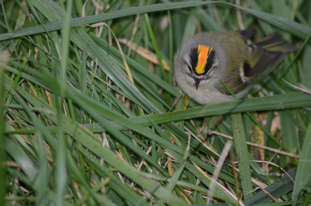 Male golden-crowned kinglet.