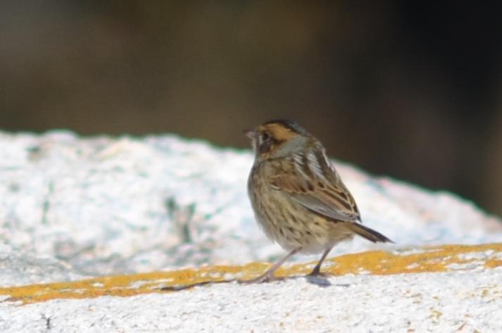 Nelson's Sharp-tailed Sparrow.