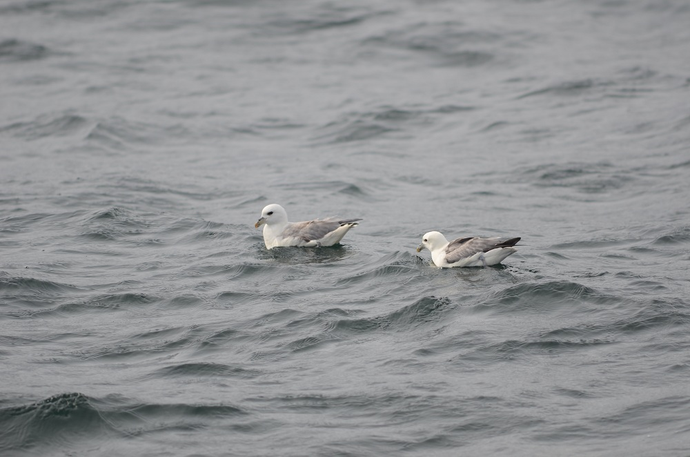 Northern Fulmar - two of fifteen
