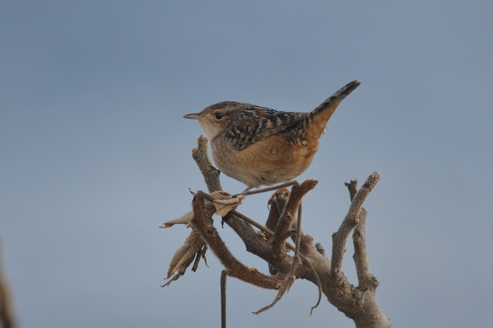 sedge wren, Oct. 16th, 2011, Star Island