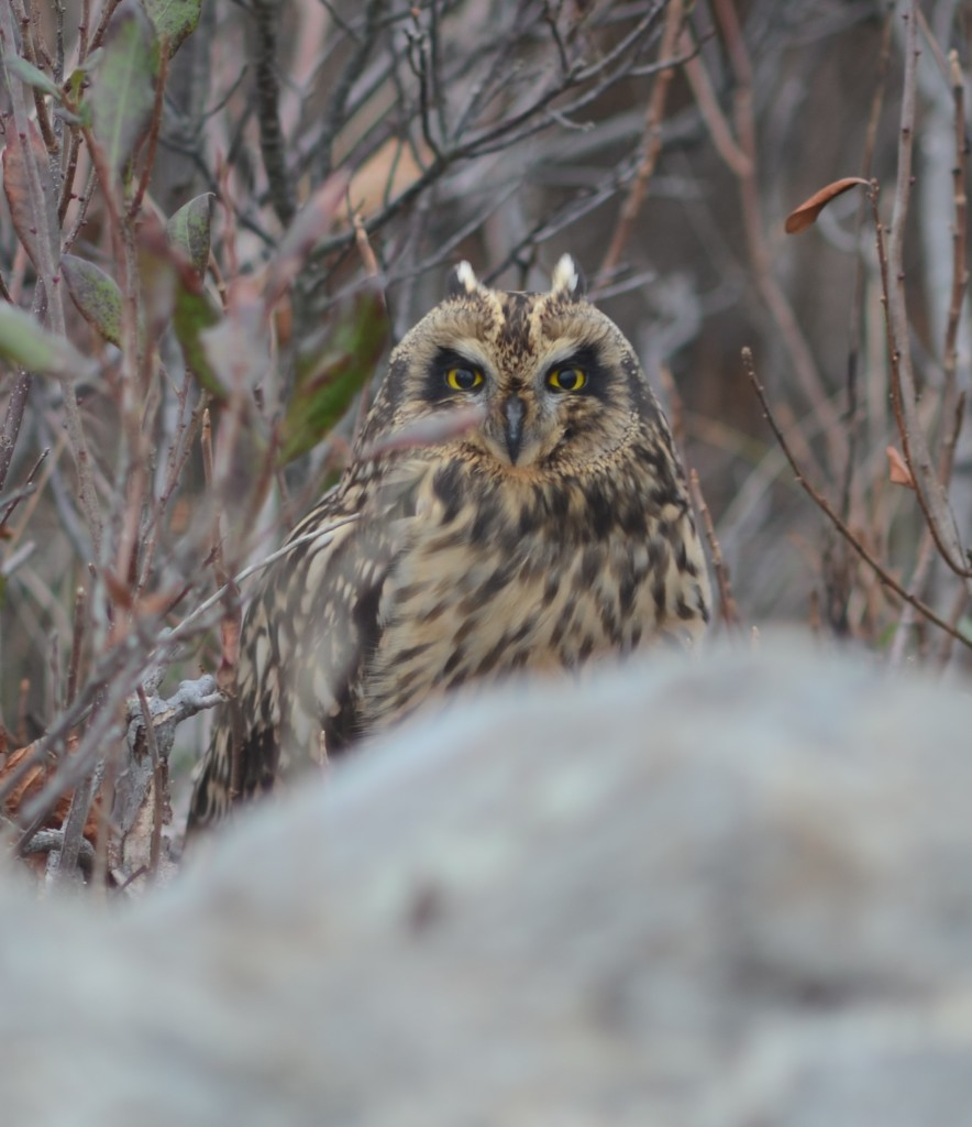 Short-eared owl, Star Island on October 22, 2011.