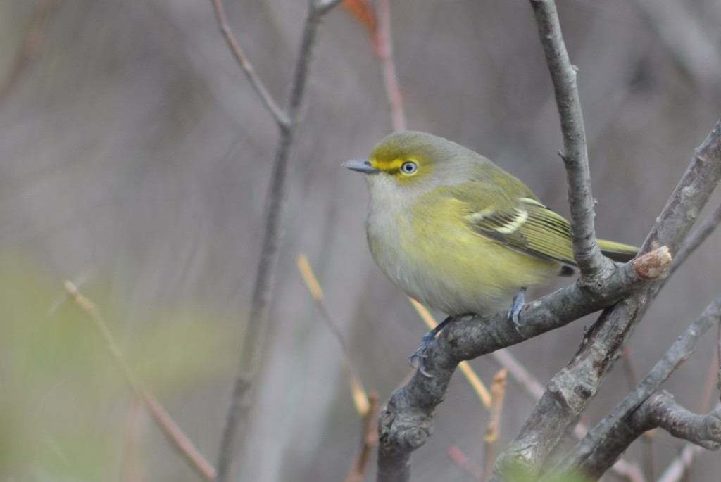 White-eyed vireo, Star Island on October 22, 2011.