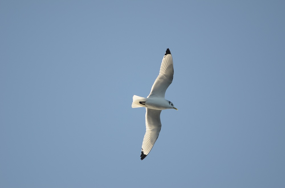 Black-legged Kittiwake, Jeffreys Ledge, December 11, 2011