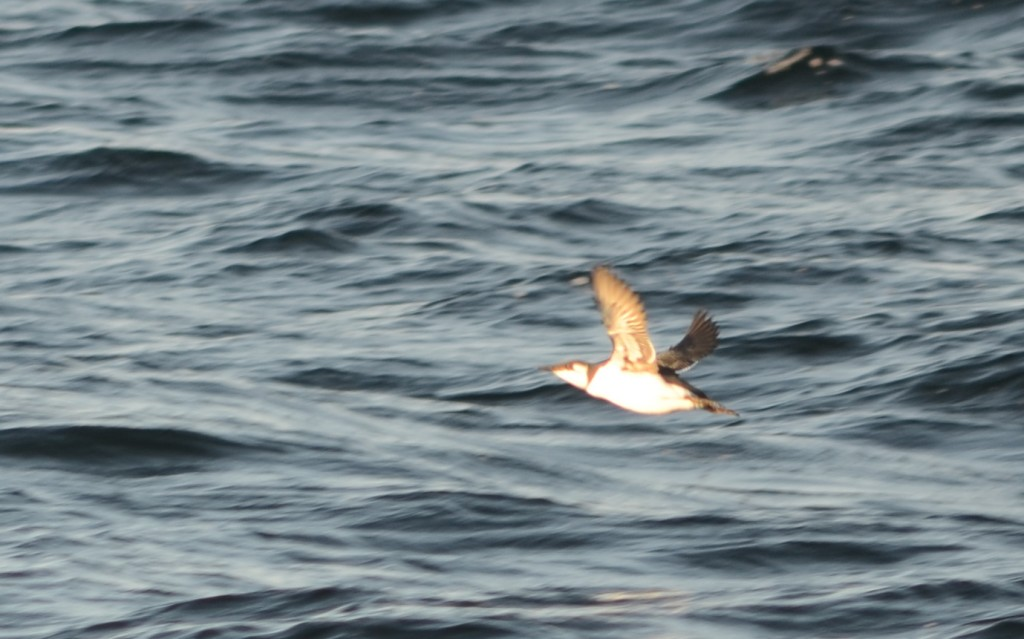 Common Murre, Jeffreys Ledge, December 11, 2011