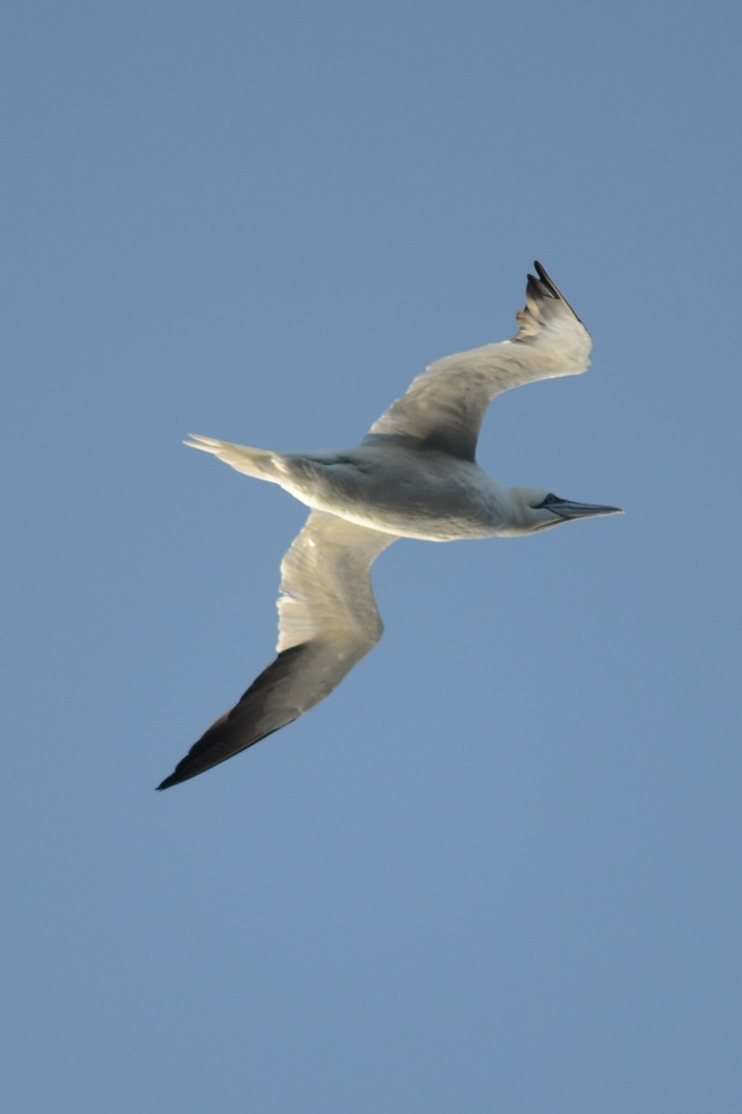 Northern Gannet, Jeffreys Ledge, December 11, 2011