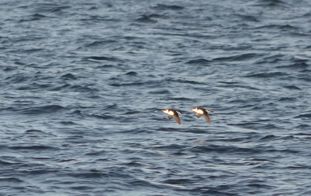 Razorbills, Jeffreys Ledge December 11, 2011