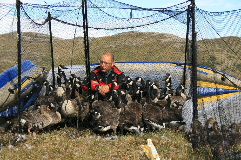 GJN with Canada Geese and a few Greenland Greater White-fronted Geese, Isunngua, Greenland, July 22, 2008.