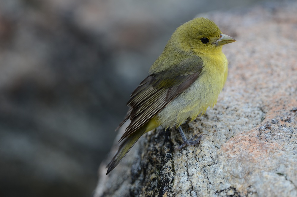 Scarlet Tanager (Star Island)