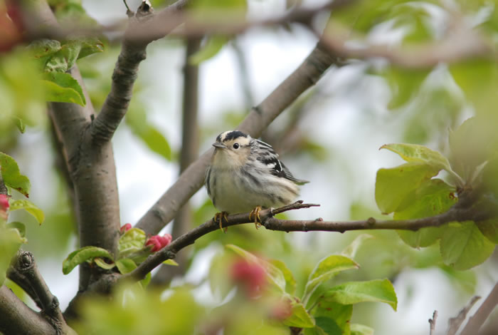 Black and White Warbler (Star Island, May 2012)