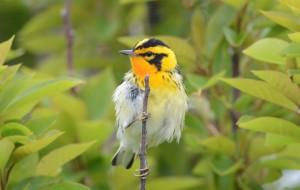 Blackburnian Warbler, Star Island May 2013