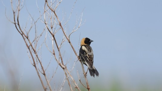 Unblocked, a bobolink arrives on Star Island