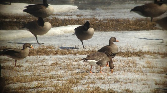 Greenland Greater White-fronted Geese, Putney Vermont