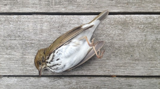 Ovenbird - final leg of the journey