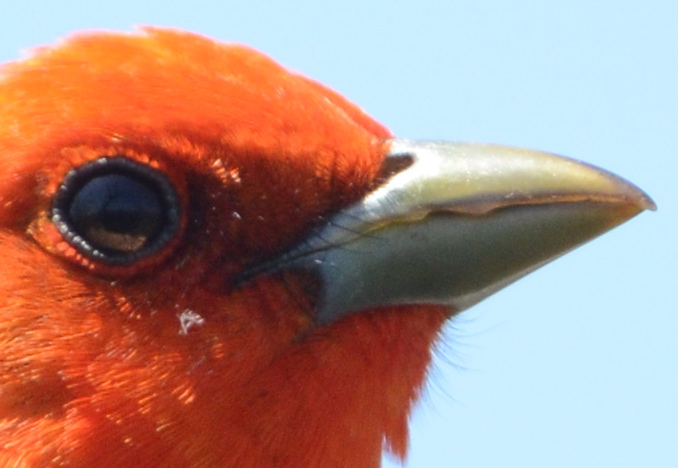 which tanager, Star Island, May 2014