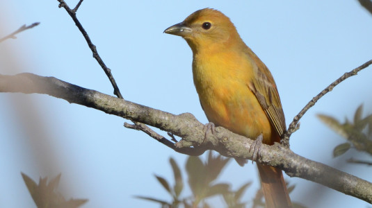Summer Tanager, Star Island