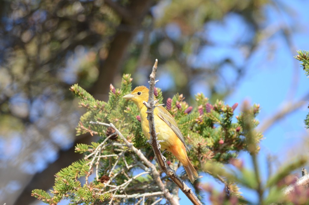 Summer Tanager, Star Island, May 2014