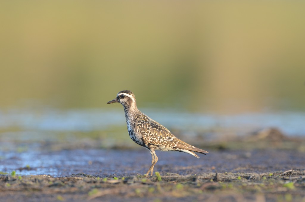 Adult American Golden-Plover