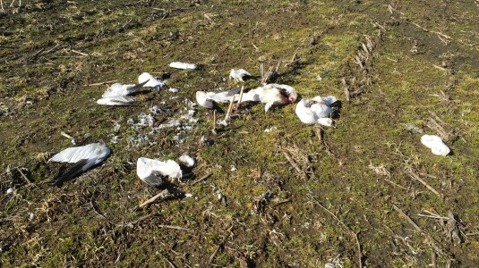 Snow Goose Remains