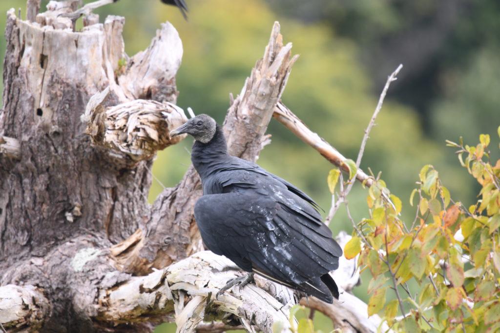 Black Vulture, Hawk Mountain