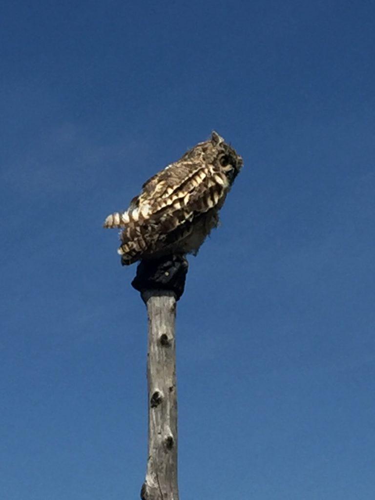 Hawk Mountain's decoy Great Horned Owl