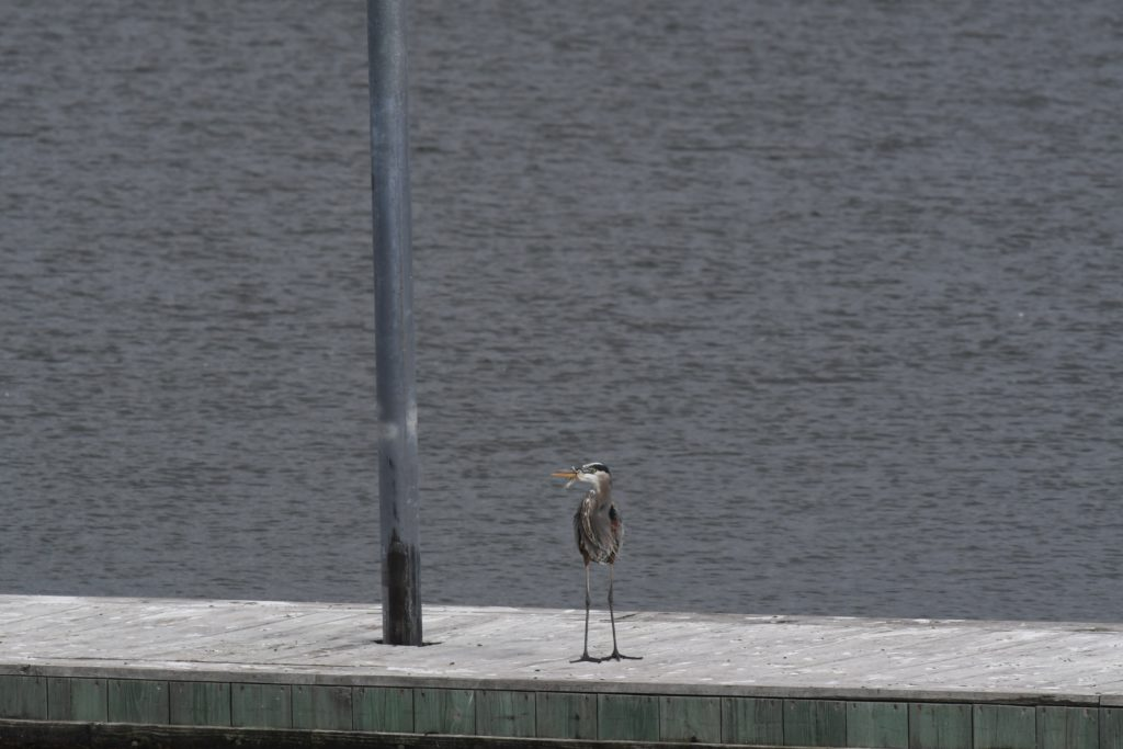 Great Blue Heron, Guntersville AL